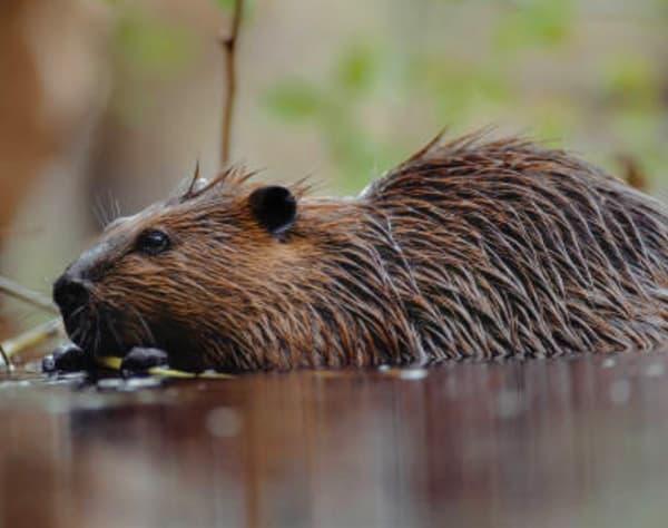 Beaver Survey