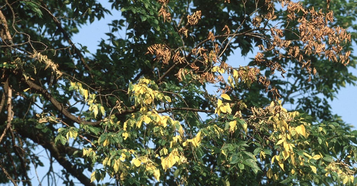 Dutch Elm Disease is caused by a fungus that clogs the elm tree's water conducting system.